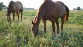 Two horses grazing on the meadow. Horses are eating green grass in the field. Close-up stock video
