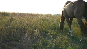 Two horses grazing on the meadow. Horses are eating green grass in the field. Close-up stock footage