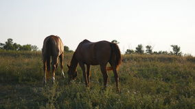 Two horses grazing on the meadow. Horses are eating green grass in the field. Close-up stock video footage