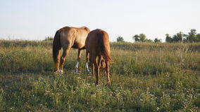 Two horses grazing on the meadow. Horses are eating green grass in the field. Close-up. Rear back view stock video