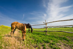 Two horses grazing in meadow near fence Royalty Free Stock Images