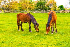 Two horses grazing in a meadow Royalty Free Stock Images