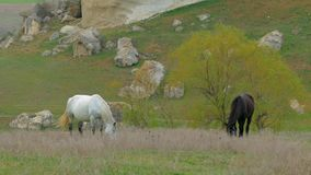 Two Horses Grazing At Nature. Two horses of black and white color standing on pasture and eating fresh grass waving horsetails near trees and rocks scattered stock video footage