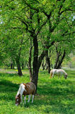 Two horses grazing in the nature. Two ponie horses enjoying in the forest Royalty Free Stock Photography