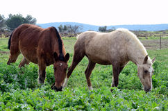 Two horses grazing Royalty Free Stock Photo