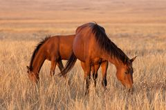 Two horses grazing in pasture Stock Photo