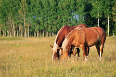 Two horses grazing in a pasture Stock Photos