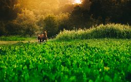 Two horses grazing on a pasture with fencing. Two young horses together on pasturage in summer Royalty Free Stock Photography