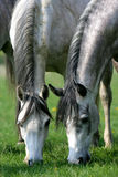 Two horses grazing in a pasture Royalty Free Stock Image