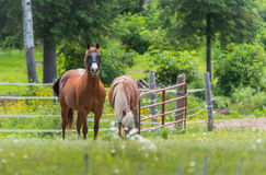 Two horses grazing and relaxing in a springtime summer meadow. Royalty Free Stock Photo