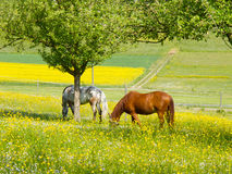 Grazing Horses in Spring Meadow Stock Image
