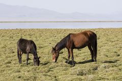 Two horses are grazing in the steppe at Song Kul Lake. In Kyrgyzstan Stock Photo