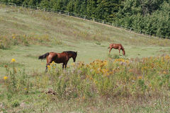 Two horses grazing on summer pasture Royalty Free Stock Photos