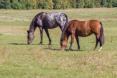 Two horses grazing on sunny day on the green field Stock Photography