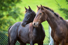 Two horses on green background outdoor. Two horses looking outdoor on green background, Arabian and Freiberger horses stock photography