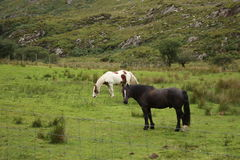Two horses in a green field. Isolated in Ireland Royalty Free Stock Image