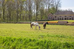 Two horses in a green field in the spring with a historic building on the background. Two horses  in a green field in the spring with a beautiful historic Stock Photos