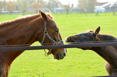 Two horses in green field. Two young and older horses cuddling outdoors in green field with copy space for concept about kindness and love Royalty Free Stock Photography
