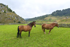 Two Horses on a green grass Royalty Free Stock Photography