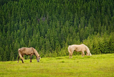 Two horses on green meadow Stock Photos