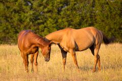 Two Horses greeting each other royalty free stock images