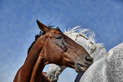Two Horses Grooming Royalty Free Stock Image