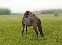 Two horses grooming each other Royalty Free Stock Images