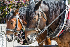 Two horses in harness Royalty Free Stock Photo