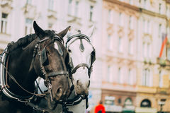 Two Horses Are Harnessed To Cart For Driving Tourists In Prague Stock Photo