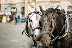 Two Horses Are Harnessed To Cart For Driving Tourists In Prague Stock Images
