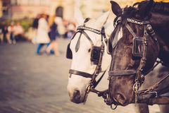 Two Horses Are Harnessed To Cart For Driving Royalty Free Stock Photos