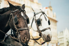 Two Horses Are Harnessed To Cart For Driving Stock Photography