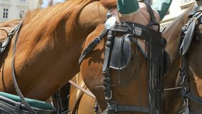 Two Horses with Harnesses. Close up shot of two brown horses wearing harness stock video