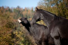 Two horses have fun and make funny faces. smiling horse make grimace