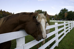 Two Horses with head over the fence Stock Image