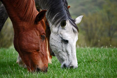 Two horses heads Royalty Free Stock Images