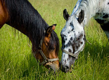 Two horses heads Stock Photo