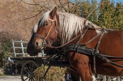 Two horses  hitched to a cart in alsatian village. Portrait of two horses  hitched to a cart in alsatian village Royalty Free Stock Images