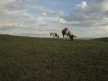 Two horses in Inner Mongolia. 2 horses are eating in Inner Mongolia on grassland in Duolun Royalty Free Stock Images