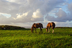 Two Horses on the  Isla de Pascua. Rapa Nui. Royalty Free Stock Images