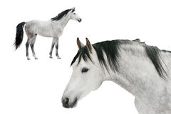 Two horses isolated. On white Stock Images