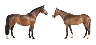 Two horses isolated Royalty Free Stock Image