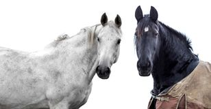 Two horses isolated. Two horses on a white background Royalty Free Stock Photo