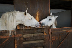 Two horses kissing
