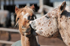 Two horses kissing with mouth open Royalty Free Stock Images