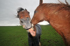 Two horses kissing with mouth open Royalty Free Stock Image
