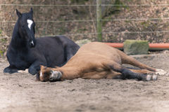 Two Horses lay down to sleep Stock Image