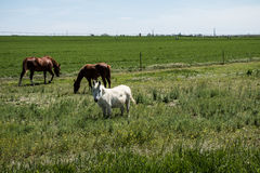 Two horses and a little white horse. What fun to see these 3 animals grazing together in a beautiful green and huge meadow. The two brown horses are so alike Royalty Free Stock Photography