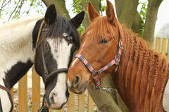 Two horses are looking. Two horses at the tree are watching Royalty Free Stock Images