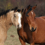 Two horses looking at you Royalty Free Stock Photos